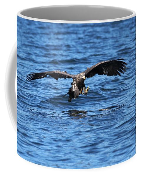 Bald Eagle Coffee Mug featuring the photograph Young Bald Eagle I by Randall Ingalls