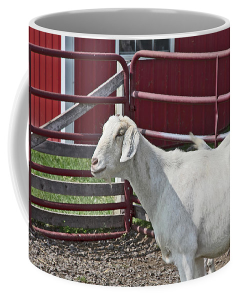Young Old Goat White And Grayish Red Fence And Gate Barn In Close Proximity Coffee Mug featuring the photograph Young Old Goat White And Grayish Red Fence And Gate Barn In Close Proximity 2 9132017 by David Frederick