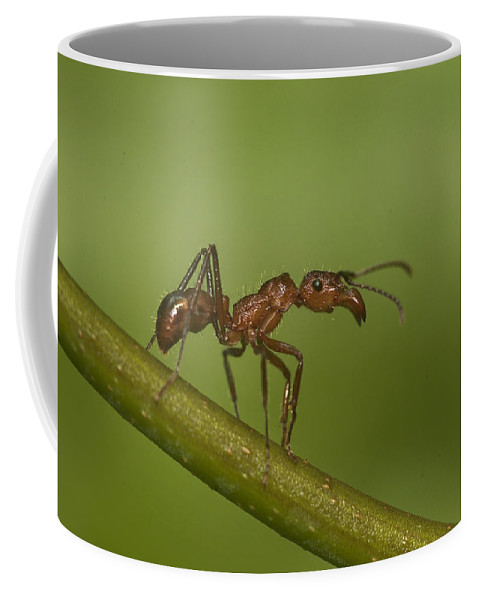 Amazonian Coffee Mug featuring the photograph Kelep Ant by Michael Lustbader