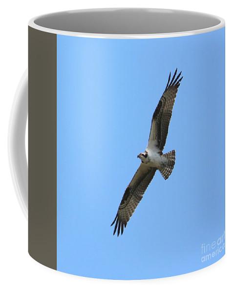 Osprey Coffee Mug featuring the photograph Intense Osprey In Flight Square Format by Carol Groenen