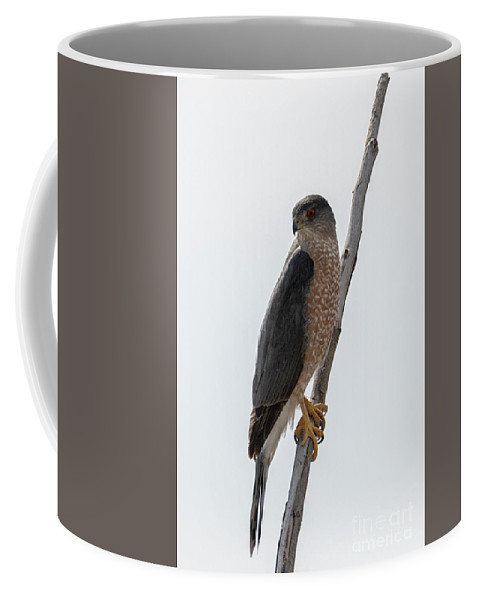 Sharp Shinned Hawk Coffee Mug featuring the photograph Ready To Pounce by Mike Dawson
