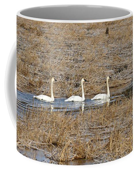 Wildlife Coffee Mug featuring the photograph Three Trumpetor Swans 0629 by Michael Peychich