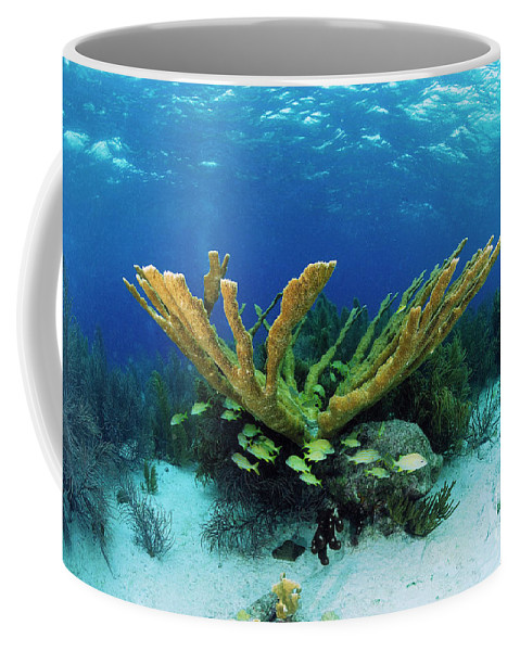 70007084 Coffee Mug featuring the photograph Elkhorn Coral by Hans Leijnse