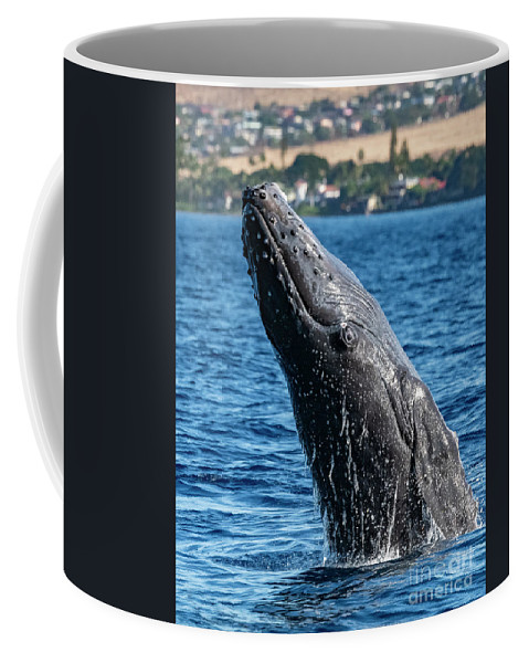 00595515 Coffee Mug featuring the photograph Juvenlie Humpback Breaching by Flip Nicklin