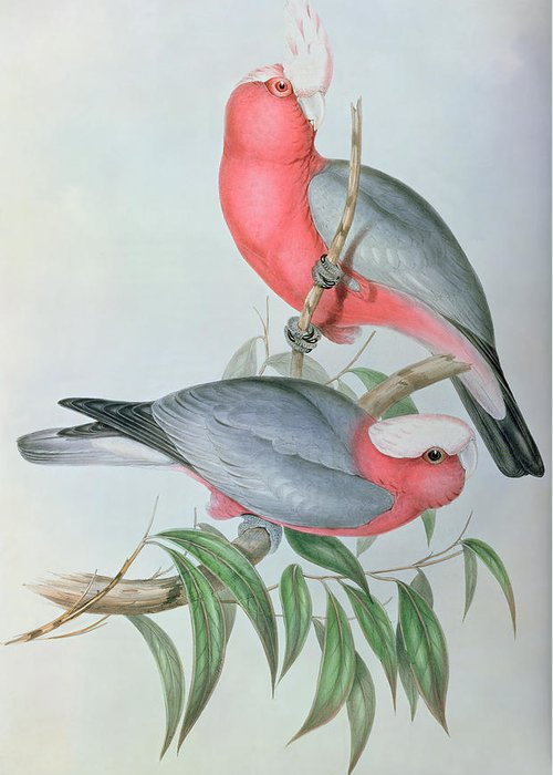 Cockatoo Greeting Card featuring the painting Birds Of Asia by John Gould