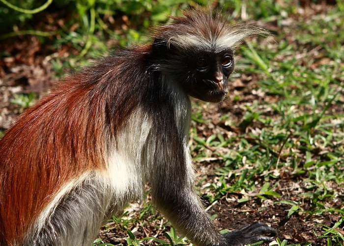 Red Colobus Monkey Greeting Card featuring the photograph Colobus Monkey by Aidan Moran