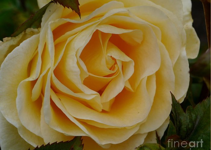 Rose Greeting Card featuring the photograph Golden Celebration by Christiane Schulze Art And Photography
