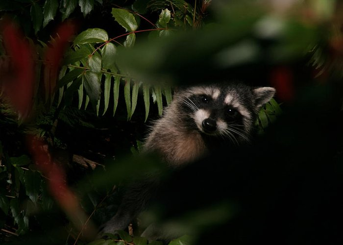 Animals Greeting Card featuring the photograph I Can See You Mr. Raccoon by Kym Backland