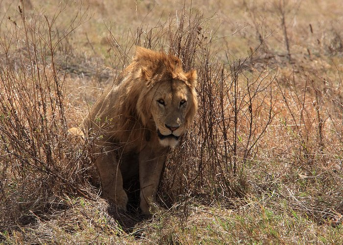 Lion Greeting Card featuring the photograph Lions Of The Ngorongoro Crater by Aidan Moran