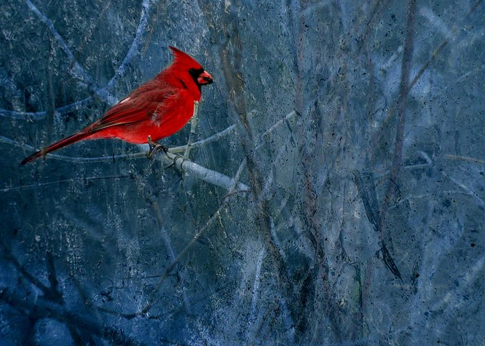 Male Northern Cardinal Greeting Card featuring the photograph Northern Cardinal by Thomas Young