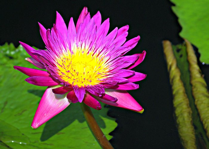 Water Lilly Greeting Card featuring the photograph 00189 by Marty Koch