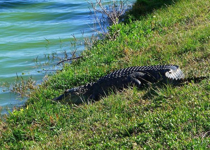 Gator Greeting Card featuring the photograph 016 A Gator 2 by Carol McKenzie
