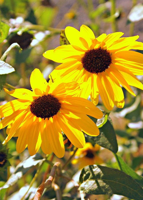 Black Eyed Susan Greeting Card featuring the photograph 080 by Marty Koch