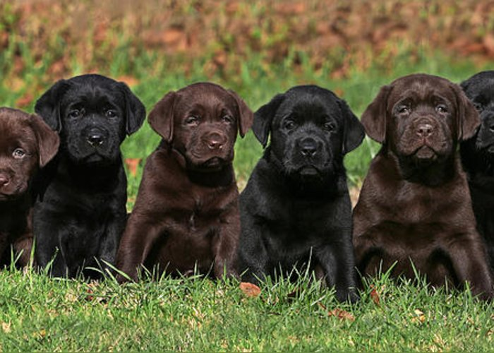 Labrador Retriever Greeting Card featuring the photograph 8 Labrador Retriever Puppies Brown And Black Side By Side by Dog Photos