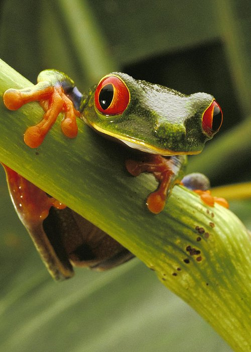 Color Image Greeting Card featuring the photograph A Red-eyed Tree Frog Agalychnis by Steve Winter