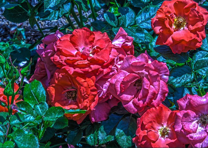 Rose Greeting Card featuring the photograph A Rose Is A Rose by Richard J Cassato