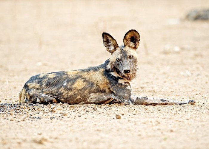 Africa Greeting Card featuring the photograph African Wild Dog by Science Photo Library