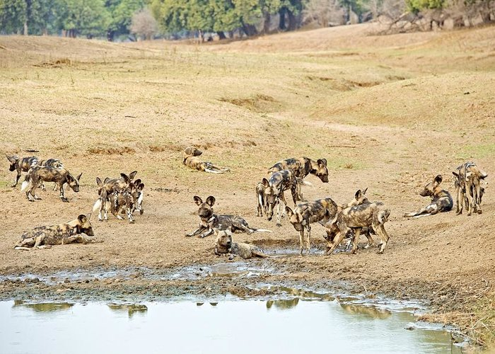 Africa Greeting Card featuring the photograph African Wild Dogs by Science Photo Library