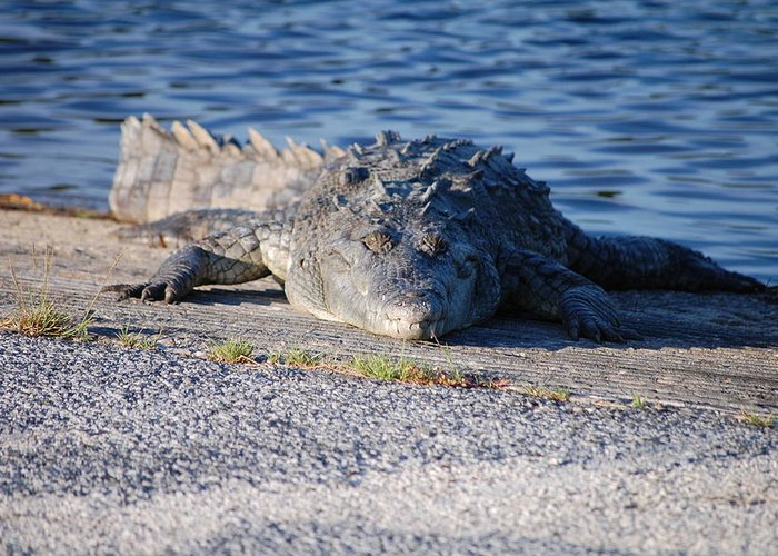 American Crocodile Greeting Card featuring the photograph American Crocodile by Mitchell Rudin
