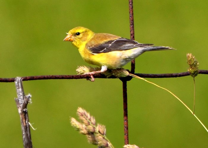 American Goldfinch Greeting Card featuring the photograph American Goldfinch by William Fox