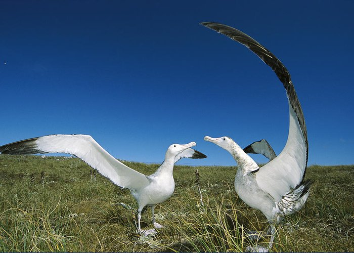 Feb0514 Greeting Card featuring the photograph Antipodean Albatross Courtship Display by Tui De Roy