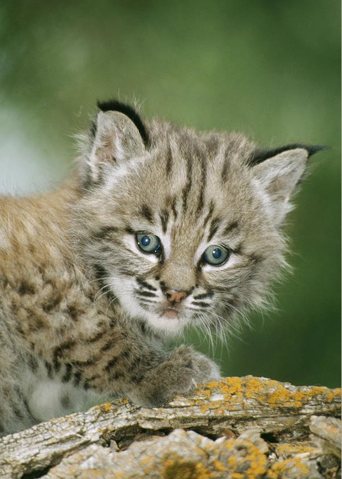 Baby Bobcat Greeting Card For Sale By M Watson