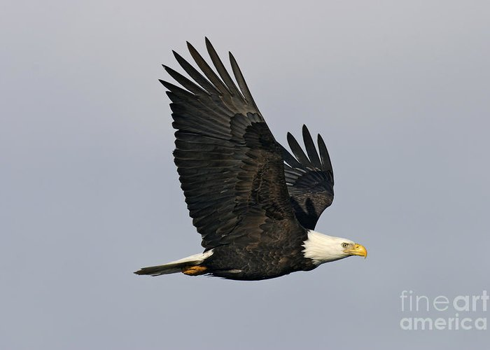 Animal Greeting Card featuring the photograph Bald Eagle In Flight by Jim Zipp