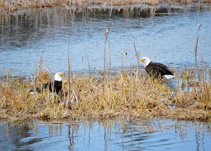 Bald Eagle Greeting Card featuring the photograph Bald Eagle Pair by Thomas Phillips