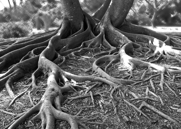 Tree Greeting Card featuring the photograph Banyan Roots - 24 X 36 by Sixth Day Photography