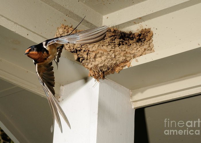 Barn Swallow Greeting Card featuring the photograph Barn Swallow by Scott Linstead