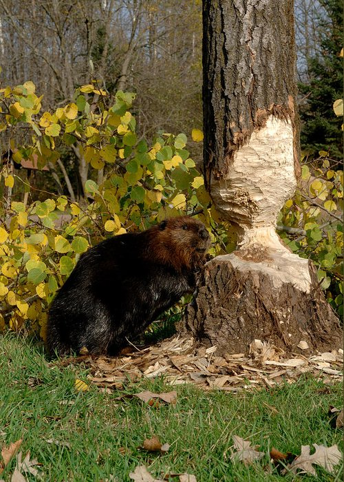 Beaver Greeting Card featuring the photograph Beaver  Castor Canadensis by Carol Gregory
