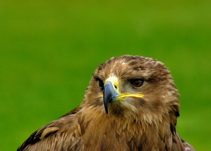 Bird Greeting Card featuring the photograph Bird Of Prey by Trevor Kersley