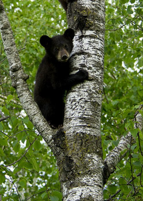Bear Greeting Card featuring the photograph Black Bear Ursus Americanus by Carol Gregory