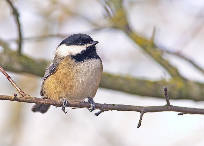 Black-caped Chickadee Greeting Card featuring the photograph Black Capped Chickadee by Sharon Talson