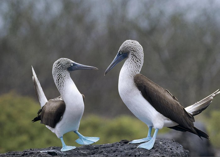 Feb0514 Greeting Card featuring the photograph Blue-footed Boobies Courting Galapagos by Tui De Roy