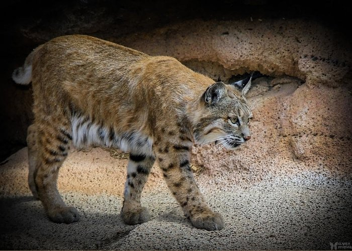 Bobcats Greeting Card featuring the photograph Bobcat by Elaine Malott