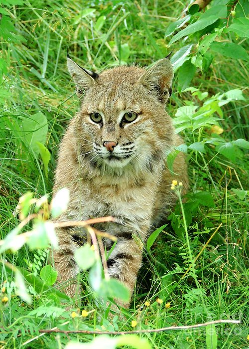 Bobcat Greeting Card featuring the photograph Bobcat Lynk Sitting In Grass Close-up by Sylvie Bouchard