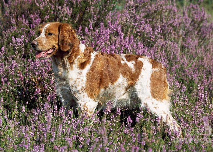 brittany spaniel or epagneul breton greeting card for sale by john