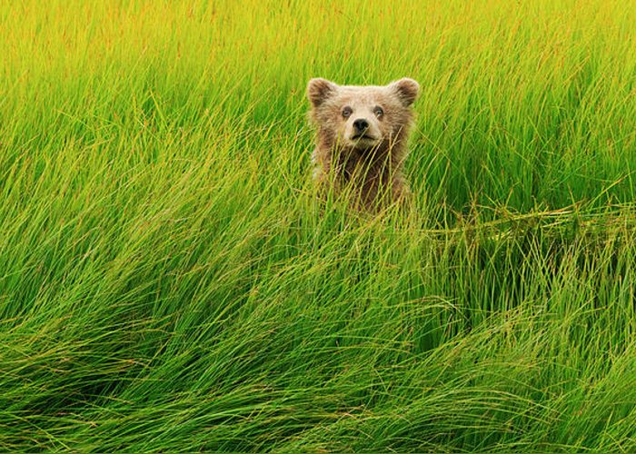 Brown Bear Greeting Card featuring the photograph Brown Bear Cub, Lake Clark National by Mint Images/ Art Wolfe