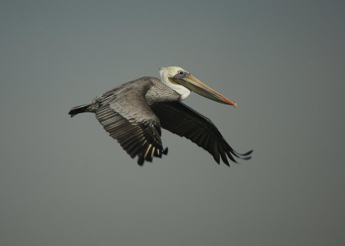 Pelican Greeting Card featuring the photograph Brown Pelican by Ernie Echols