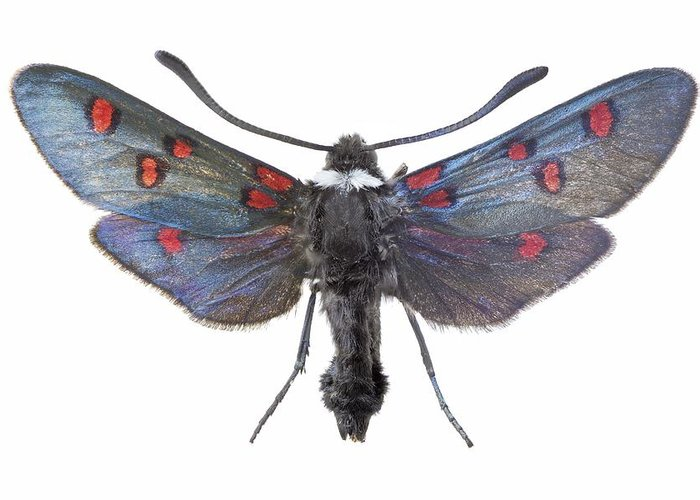 Entomology Greeting Card featuring the photograph Burnet Moth by Science Photo Library