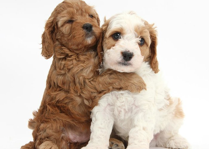 Cavapoo Puppies Hugging Greeting Card