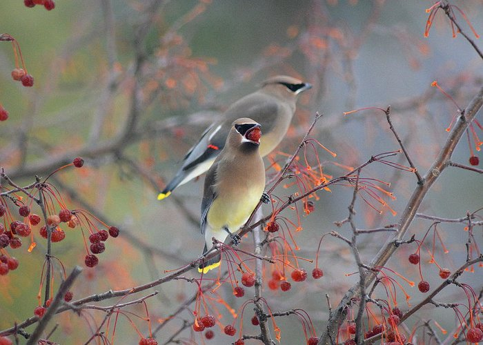 Birds Greeting Card featuring the photograph Cedar Waxwings by Lisa Jaworski