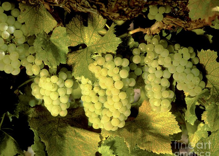 Cluster Greeting Card featuring the photograph Chardonnay Wine Clusters by Craig Lovell