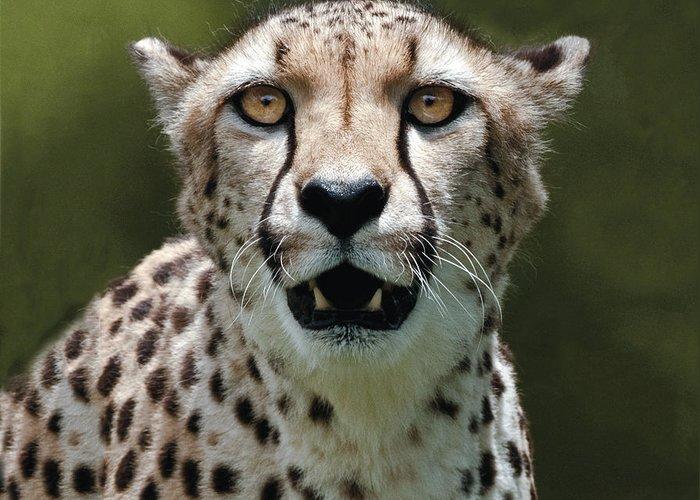 Cheetah Greeting Card featuring the photograph Cheetah Portrait by William Bitman