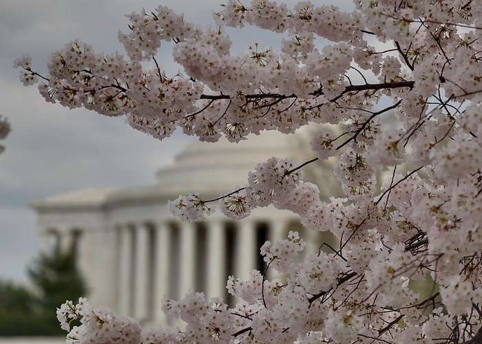 America Greeting Card featuring the photograph Cherry Blossoms With Jefferson Memorial - Washington Dc - 01134 by DC Photographer