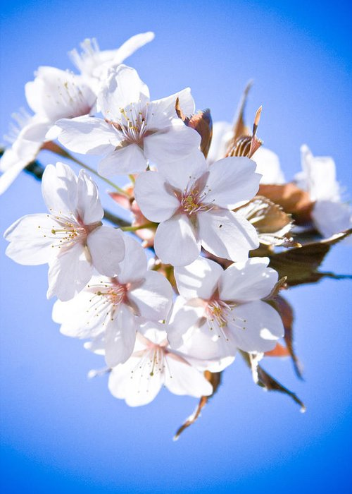 Flowers Greeting Card featuring the photograph Cherry Tree Blossoms Close Up by Raimond Klavins