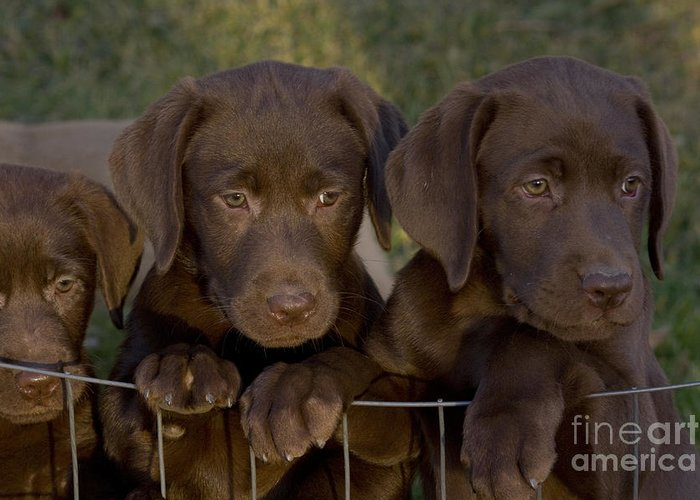Lab Greeting Card featuring the photograph Chocolate Labrador Retriever Pups by Linda Freshwaters Arndt