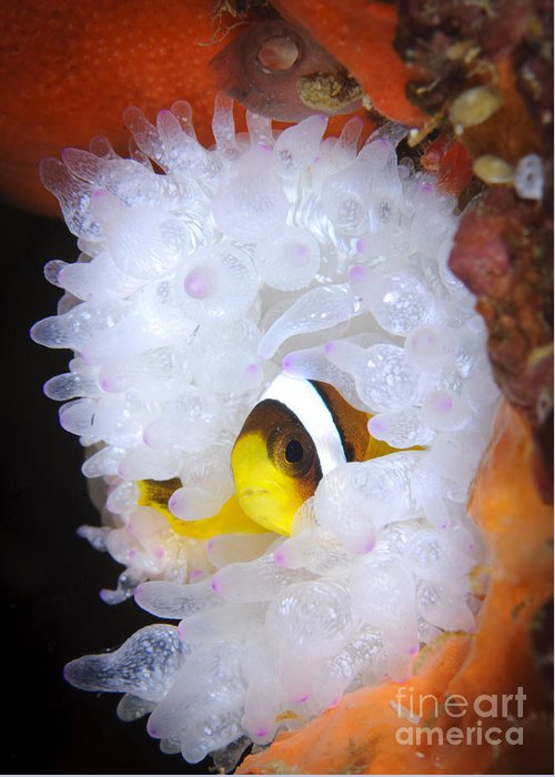 Osteichthyes Greeting Card featuring the photograph Clarks Anemonefish In White Anemone by Steve Jones