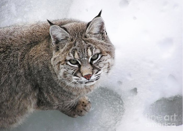 Lynx Greeting Card featuring the photograph Close-up Bobcat Lynx On Snow Looking At Camera by Sylvie Bouchard